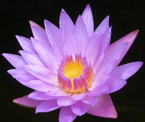 Lotus Lilly taken at Bali's Buddhist monastery: Brahma Vihara Arama